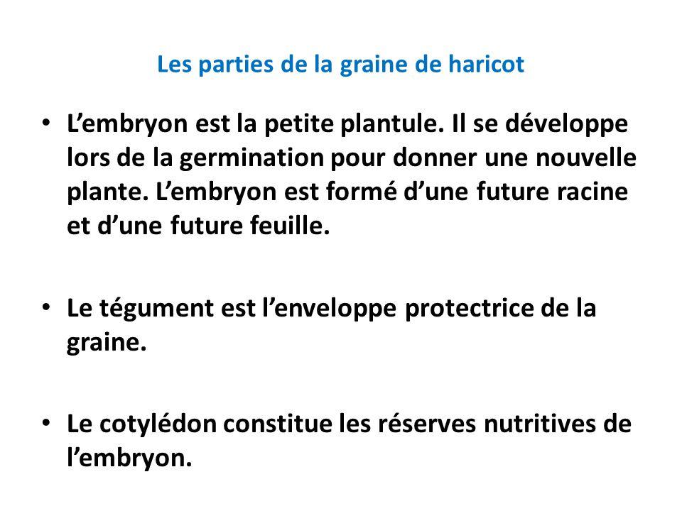 Les parties de la graine de haricot • L'embryon est la petite plantule. Il se développe lors de la germination pour donner une nouvelle plante. L'embr
