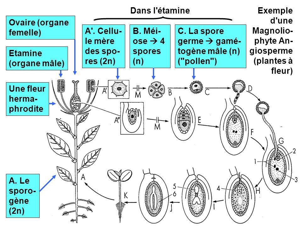 10 Exemple d'une Magnolio- phyte An- giosperme (plantes à fleur) A. Le sporo- gène (2n) Une fleur herma- phrodite Etamine (organe mâle) Ovaire (organe