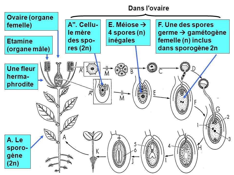 11 A. Le sporo- gène (2n) Une fleur herma- phrodite Etamine (organe mâle) Ovaire (organe femelle) A''. Cellu- le mère des spo- res (2n) Dans l'ovaire