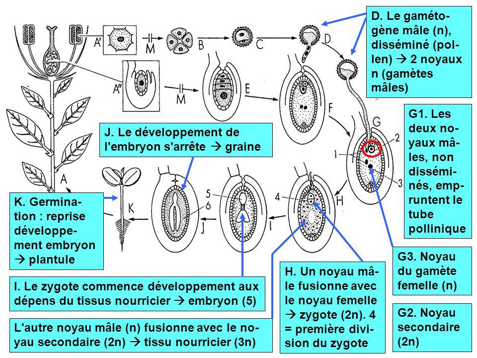 12 D. Le gaméto- gène mâle (n), disséminé (pol- len)  2 noyaux n (gamètes mâles) G1. Les deux no- yaux mâ- les, non dissémi- nés, emp- runtent le tub