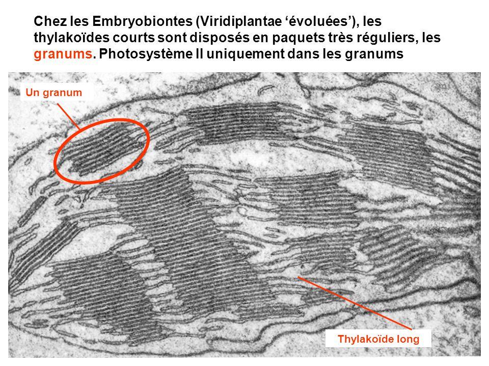 3 Chez les Embryobiontes (Viridiplantae 'évoluées'), les thylakoïdes courts sont disposés en paquets très réguliers, les granums. Photosystème II uniq
