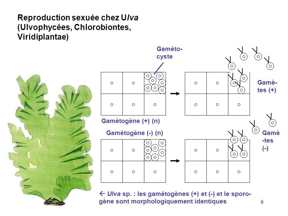 6 Reproduction sexuée chez Ulva (Ulvophycées, Chlorobiontes, Viridiplantae)  Ulva sp. : les gamétogènes (+) et (-) et le sporo- gène sont morphologiq