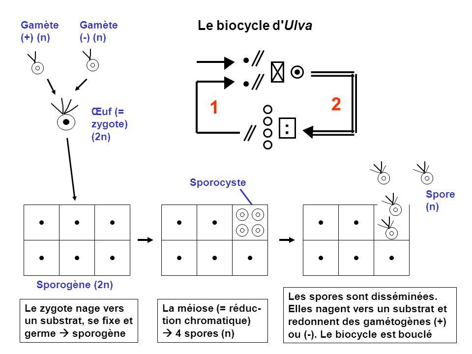 7 Gamète (+) (n) Gamète (-) (n) Œuf (= zygote) (2n) Sporocyste La méiose (= réduc- tion chromatique)  4 spores (n) Sporogène (2n) Le zygote nage vers