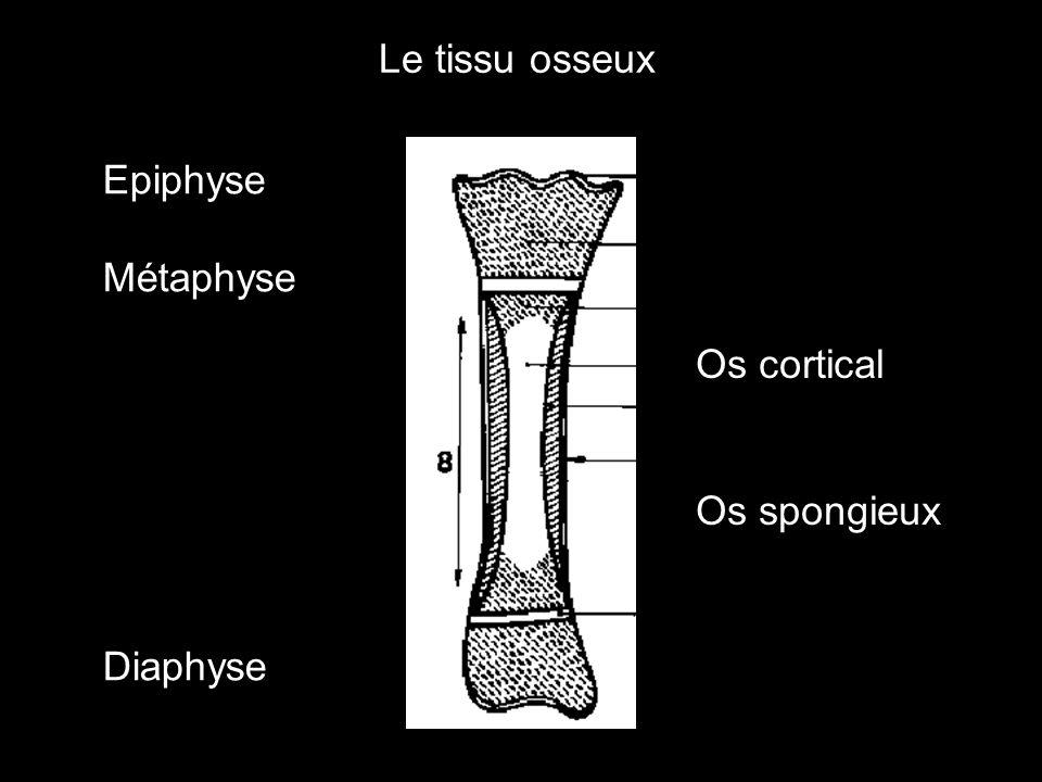 Le tissu osseux Epiphyse Métaphyse Diaphyse Os cortical Os spongieux