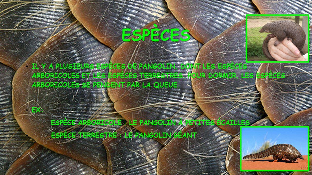 ESPÈCES • IL Y A PLUSIEURS ESPÈCES DE PANGOLIN, DONT LES ESPÈCES ARBORICOLES ET LES ESPÈCES TERRESTRES. POUR DORMIR, LES ESPÈCES ARBORICOLES SE PENDEN