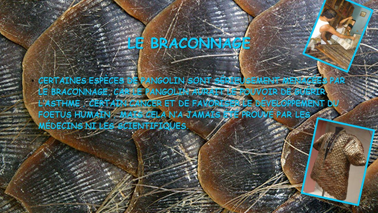 LE BRACONNAGE • CERTAINES ESPÈCES DE PANGOLIN SONT SÉRIEUSEMENT MENACÉES PAR LE BRACONNAGE, CAR LE PANGOLIN AURAIT LE POUVOIR DE GUÉRIR L'ASTHME, CERTAIN CANCER ET DE FAVORISER LE DÉVELOPPEMENT DU FOETUS HUMAIN, MAIS CELA N'A JAMAIS ÉTÉ PROUVÉ PAR LES MÉDECINS NI LES SCIENTIFIQUES.