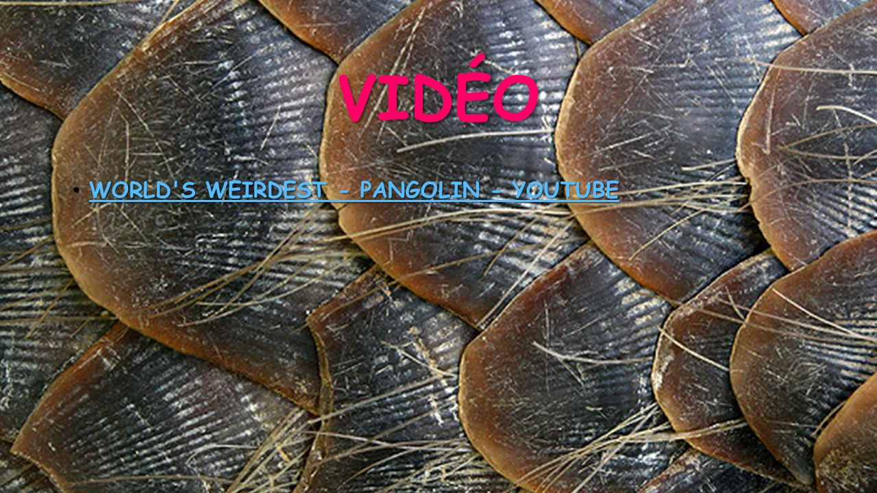 VIDÉO • WORLD'S WEIRDEST - PANGOLIN - YOUTUBE WORLD'S WEIRDEST - PANGOLIN - YOUTUBE WORLD'S WEIRDEST - PANGOLIN - YOUTUBE