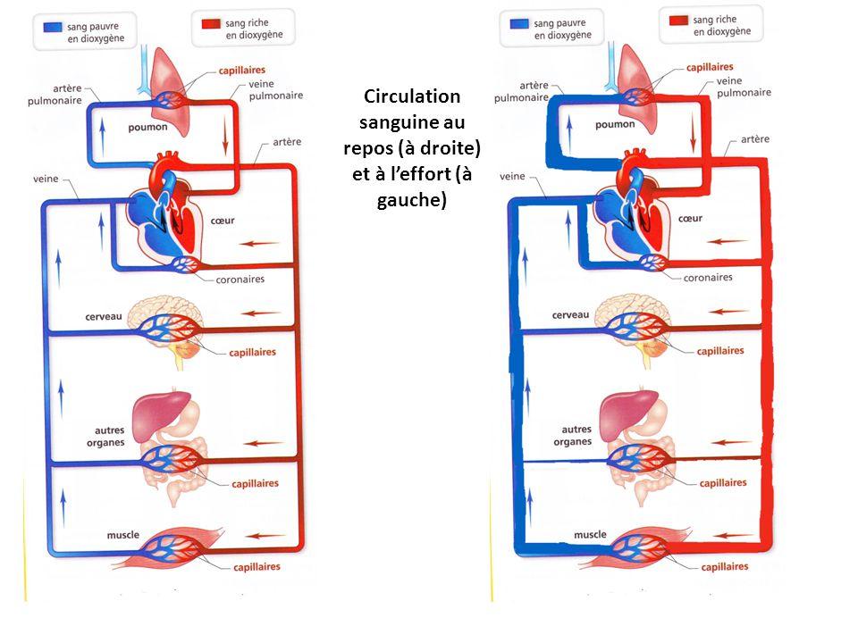 Circulation sanguine au repos (à droite) et à l'effort (à gauche)