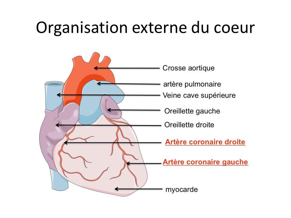 Organisation anatomique du cœur