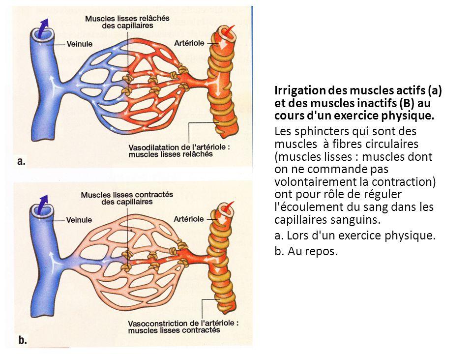 Irrigation des muscles actifs (a) et des muscles inactifs (B) au cours d'un exercice physique. Les sphincters qui sont des muscles à fibres circulaire