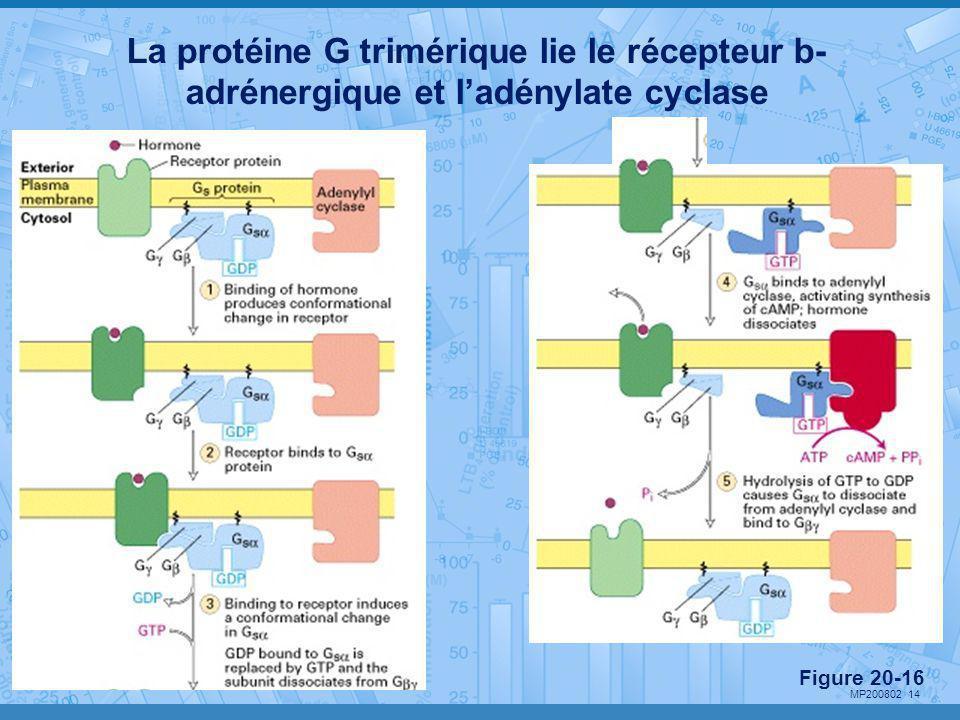 MP200802 14 La protéine G trimérique lie le récepteur b- adrénergique et l'adénylate cyclase Figure 20-16