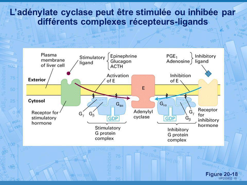 MP200802 15 L'adénylate cyclase peut être stimulée ou inhibée par différents complexes récepteurs-ligands Figure 20-18