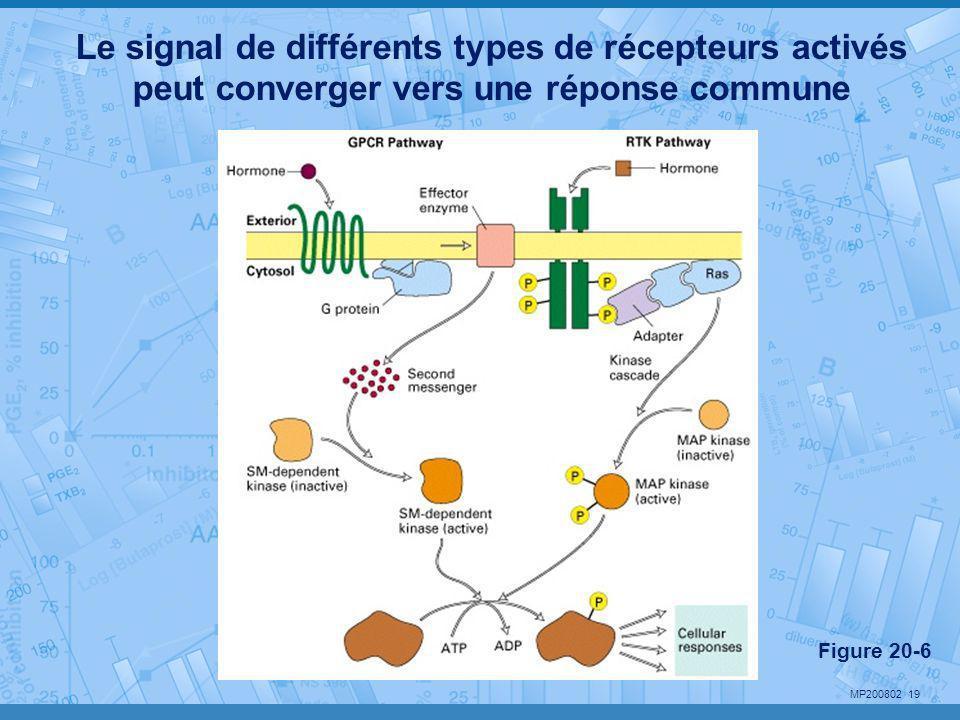 MP200802 19 Le signal de différents types de récepteurs activés peut converger vers une réponse commune Figure 20-6