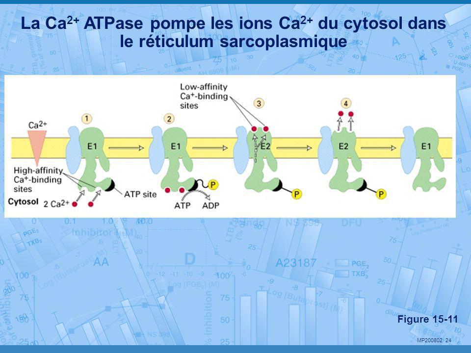 MP200802 24 La Ca 2+ ATPase pompe les ions Ca 2+ du cytosol dans le réticulum sarcoplasmique Figure 15-11