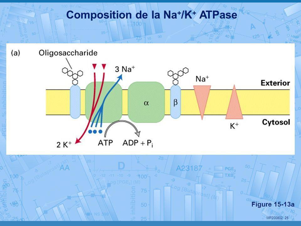 MP200802 25 Composition de la Na + /K + ATPase Figure 15-13a