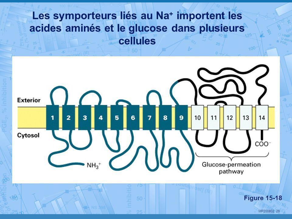 MP200802 26 Les symporteurs liés au Na + importent les acides aminés et le glucose dans plusieurs cellules Figure 15-18