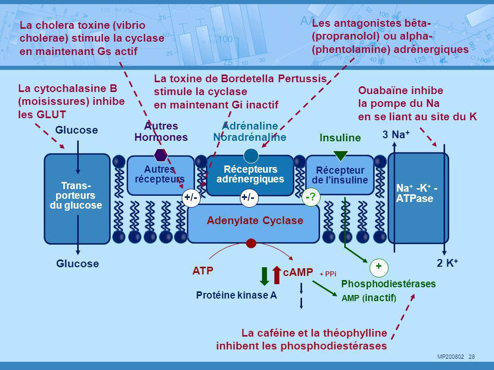 MP200802 28 La cholera toxine (vibrio cholerae) stimule la cyclase en maintenant Gs actif Ouabaïne inhibe la pompe du Na en se liant au site du K Les