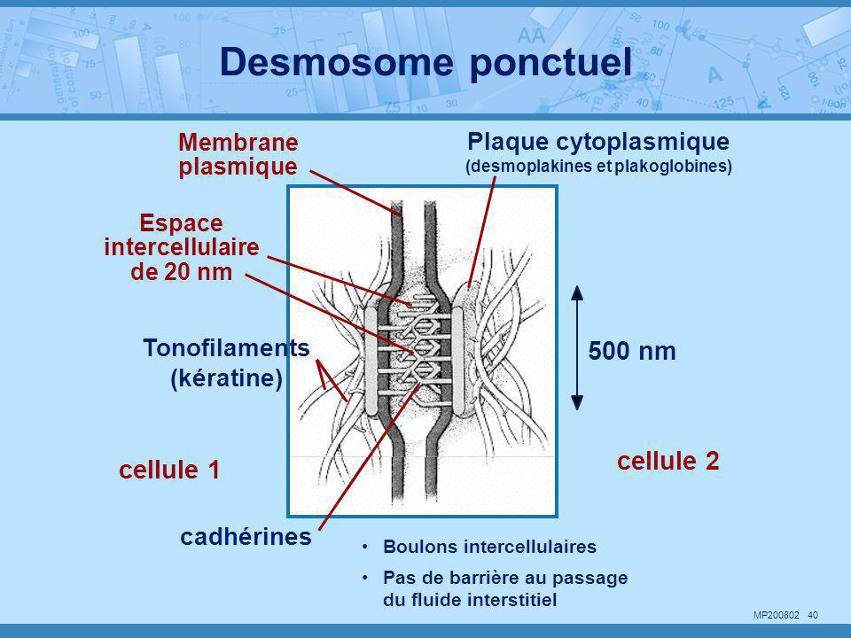 MP200802 40 500 nm Membrane plasmique Espace intercellulaire de 20 nm cellule 1 cellule 2 cadhérines Tonofilaments (kératine) Plaque cytoplasmique (de