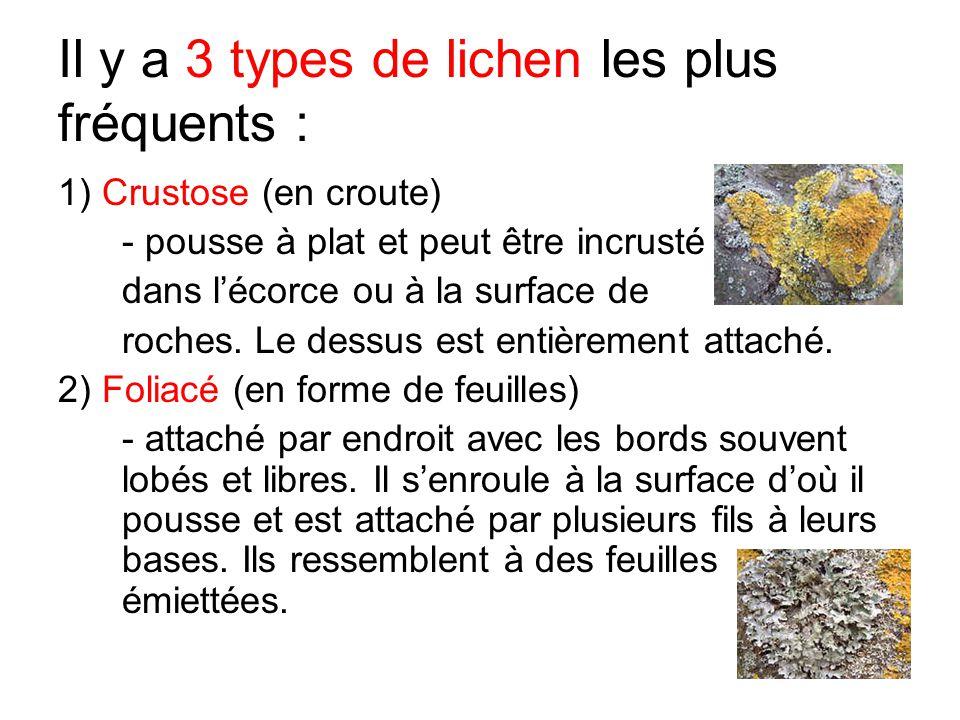 Il y a 3 types de lichen les plus fréquents : 1) Crustose (en croute) - pousse à plat et peut être incrusté dans l'écorce ou à la surface de roches. L