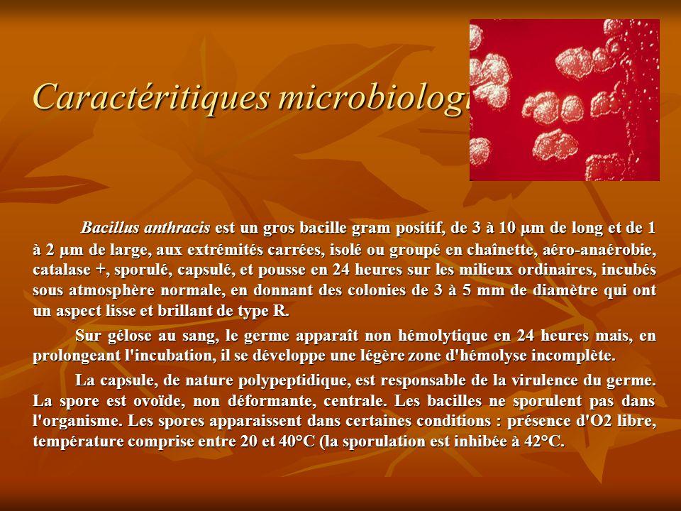 Caractéritiques microbiologiques Bacillus anthracis est un gros bacille gram positif, de 3 à 10 µm de long et de 1 à 2 µm de large, aux extrémités carrées, isolé ou groupé en chaînette, aéro-anaérobie, catalase +, sporulé, capsulé, et pousse en 24 heures sur les milieux ordinaires, incubés sous atmosphère normale, en donnant des colonies de 3 à 5 mm de diamètre qui ont un aspect lisse et brillant de type R.