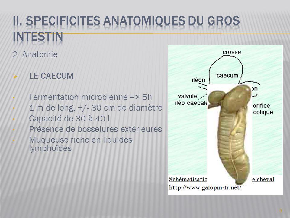 2. Anatomie  LE CAECUM • Fermentation microbienne => 5h • 1 m de long, +/- 30 cm de diamètre • Capacité de 30 à 40 l • Présence de bosselures extérie