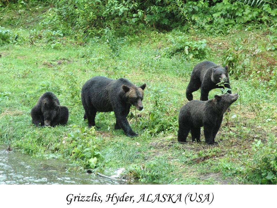Grizzlis, Hyder, ALASKA (USA)