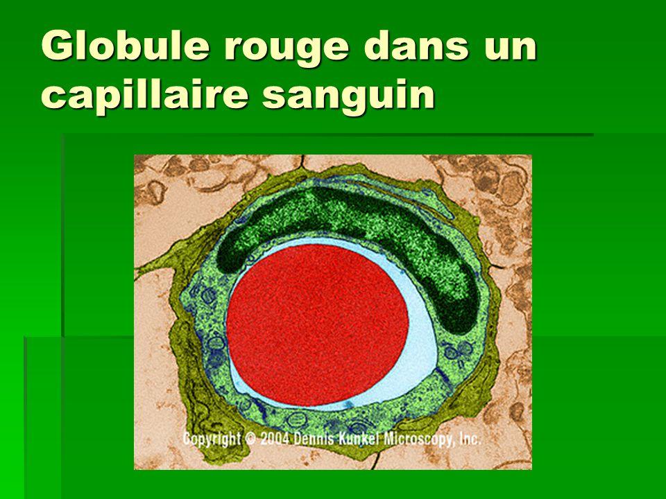 Globule rouge dans un capillaire sanguin