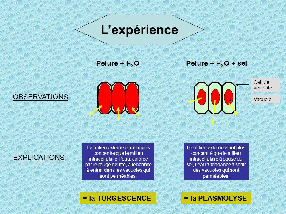 L'expérience Une plante en état de turgescence a ses cellules bien gonflées par l'eau qu'elle a absorbée par ses racines.