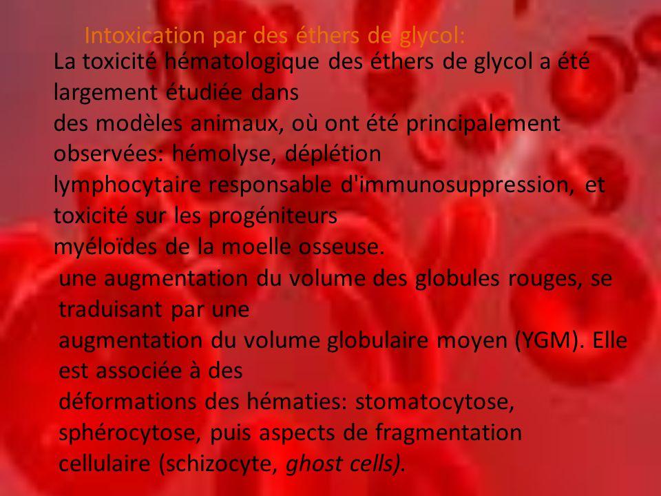une augmentation du volume des globules rouges, se traduisant par une augmentation du volume globulaire moyen (YGM).