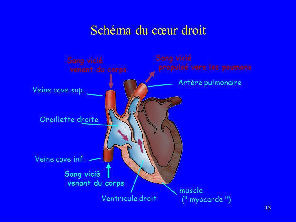 12 Schéma du cœur droit Artère pulmonaire Sang vicié propulsé vers les poumons Veine cave sup. Oreillette droite Ventricule droit muscle (