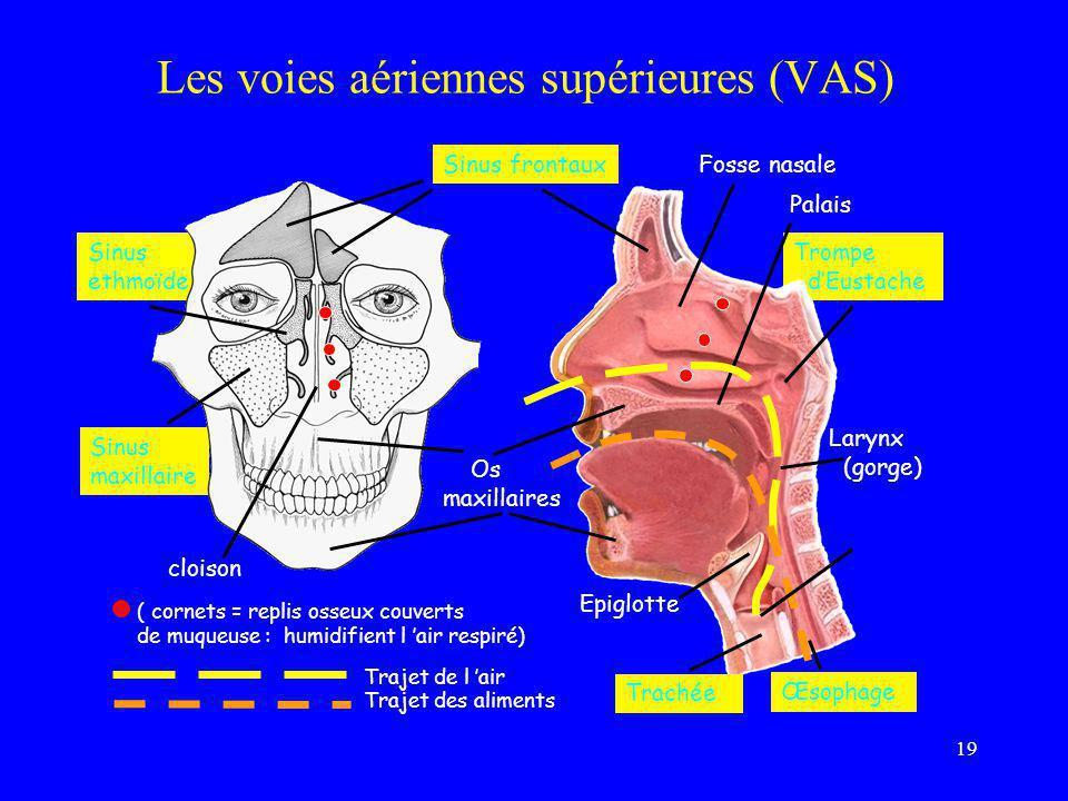 19 Trompe d'Eustache Larynx (gorge) Sinus ethmoïde Sinus maxillaire Sinus frontaux Epiglotte Trachée Œsophage Palais cloison Fosse nasale ( cornets =