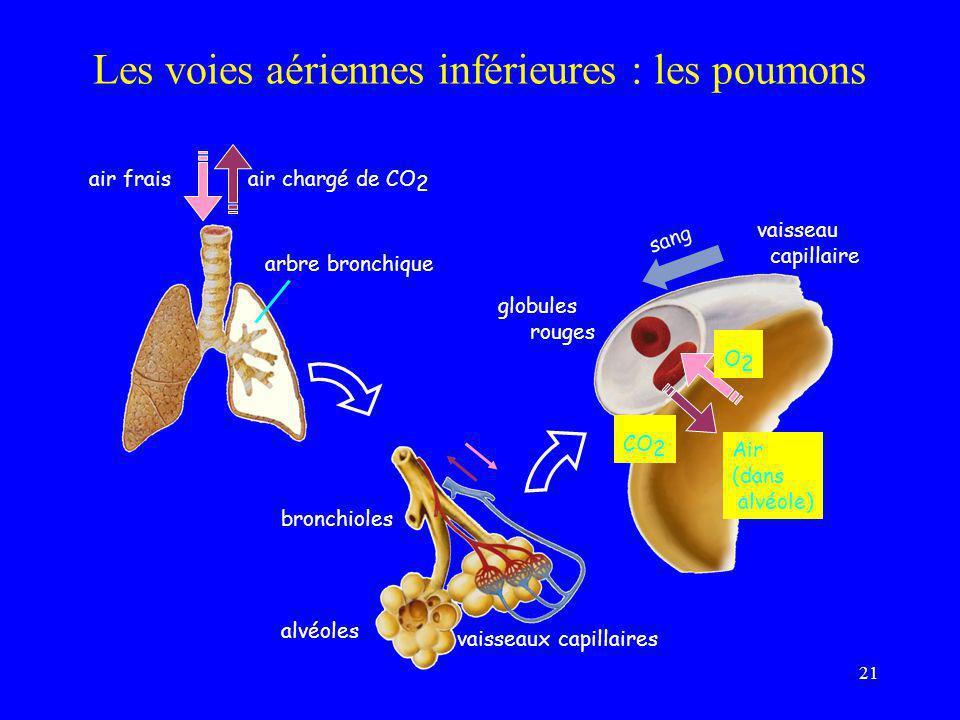 21 Les voies aériennes inférieures : les poumons vaisseau capillaire O2O2 CO 2 globules rouges Air (dans alvéole) sang arbre bronchique air fraisair c
