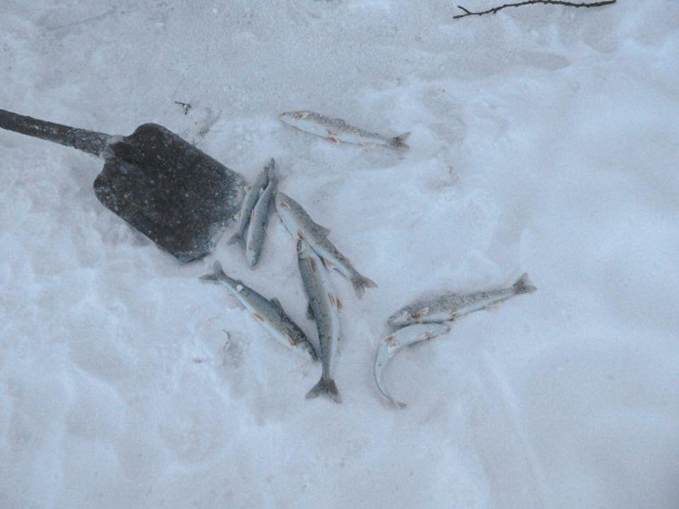 Durant la pêche le poisson est déjà couvert de glace à sa sortie de l'eau.