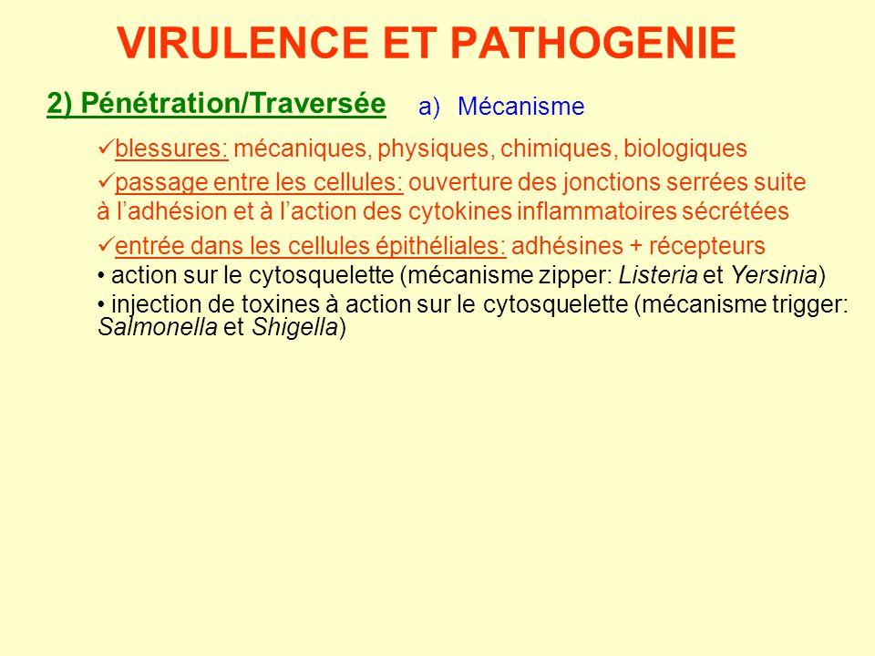 2) Pénétration/Traversée a) Mécanisme VIRULENCE ET PATHOGENIE  passage entre les cellules: ouverture des jonctions serrées suite à l'adhésion et à l'