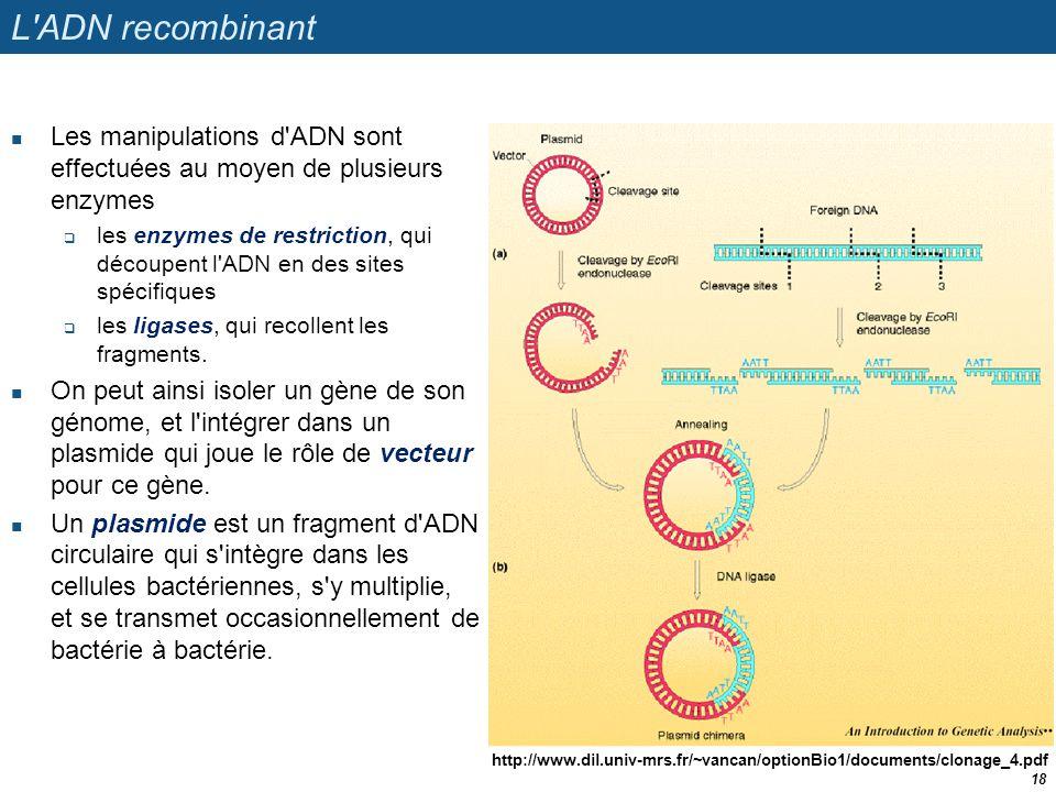 L'ADN recombinant  Les manipulations d'ADN sont effectuées au moyen de plusieurs enzymes  les enzymes de restriction, qui découpent l'ADN en des sit