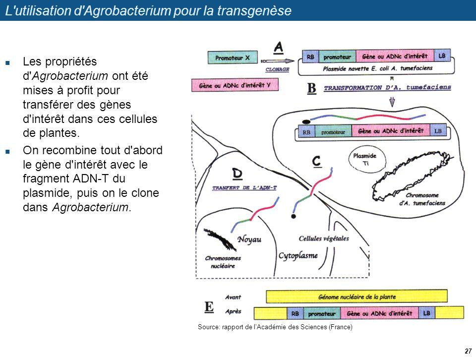 L'utilisation d'Agrobacterium pour la transgenèse  Les propriétés d'Agrobacterium ont été mises à profit pour transférer des gènes d'intérêt dans ces