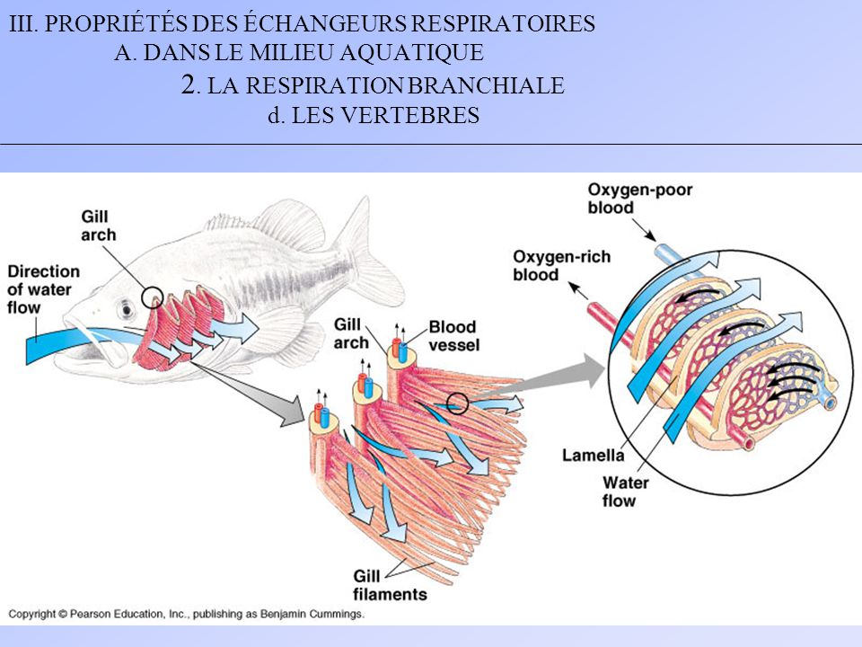 III. PROPRIÉTÉS DES ÉCHANGEURS RESPIRATOIRES A. DANS LE MILIEU AQUATIQUE 2. LA RESPIRATION BRANCHIALE d. LES VERTEBRES