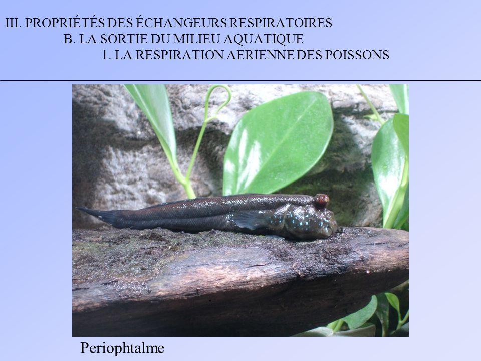 III. PROPRIÉTÉS DES ÉCHANGEURS RESPIRATOIRES B. LA SORTIE DU MILIEU AQUATIQUE 1. LA RESPIRATION AERIENNE DES POISSONS Periophtalme