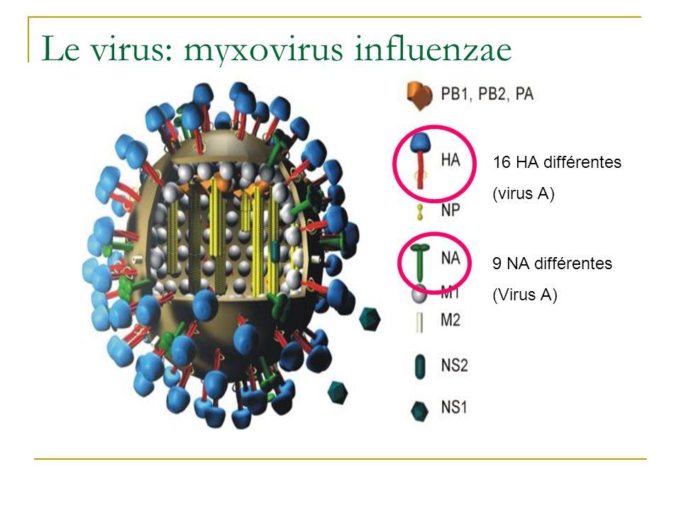 Le virus: myxovirus influenzae 16 HA différentes (virus A) 9 NA différentes (Virus A)