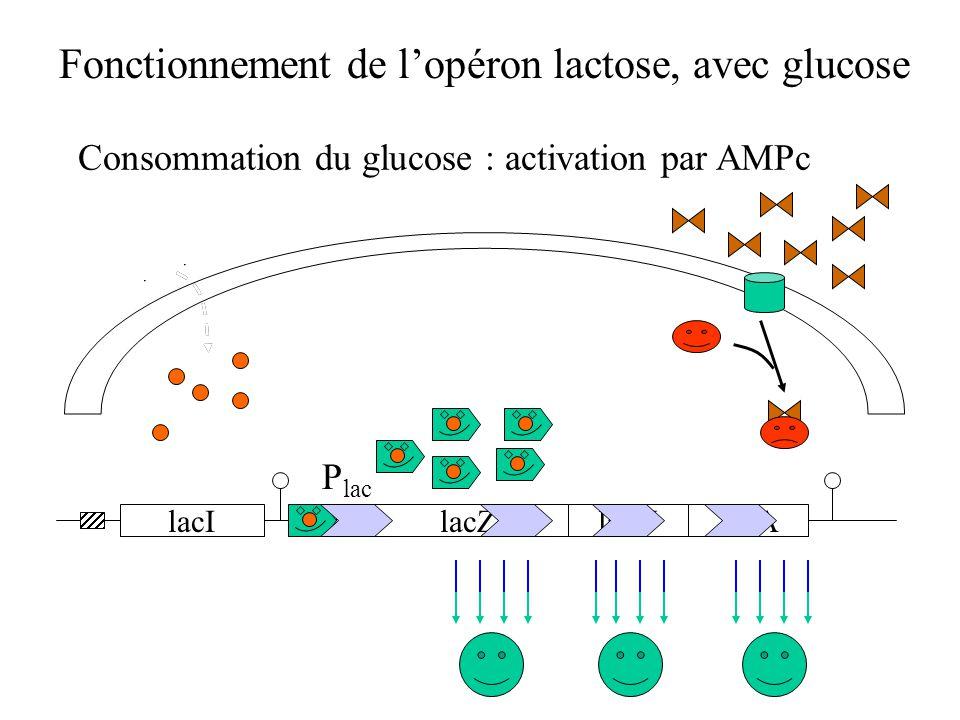 Avec glucose : répression catabolique Fonctionnement de l'opéron lactose, avec glucose lacIlacZlacYlacA P lac Consommation du glucose : activation par