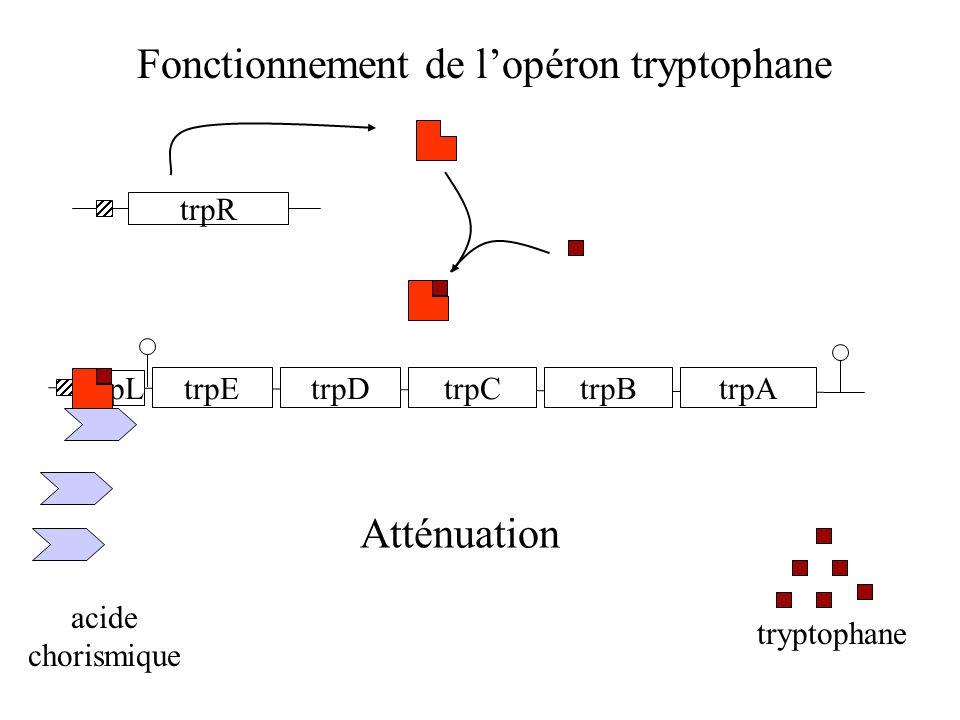 Fonctionnement de l'opéron tryptophane trpR trpL trpEtrpDtrpCtrpBtrpA acide chorismique tryptophane E1E2E3 Atténuation