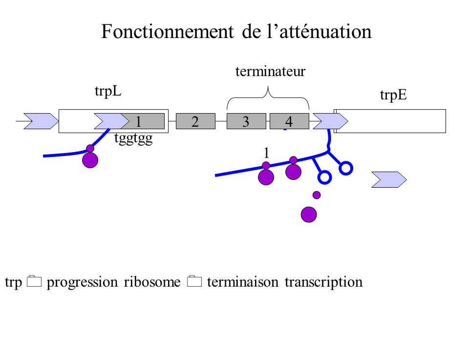 Fonctionnement de l'atténuation trpL 1234 terminateur trpE tggtgg pas trp  blocage ribosome  pas terminaison transcription 1 2 3 trp  progression ribosome  terminaison transcription 4 1