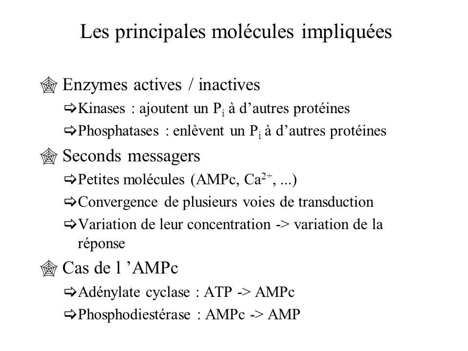 Les principales molécules impliquées  Enzymes actives / inactives  Kinases : ajoutent un P i à d'autres protéines  Phosphatases : enlèvent un P i à