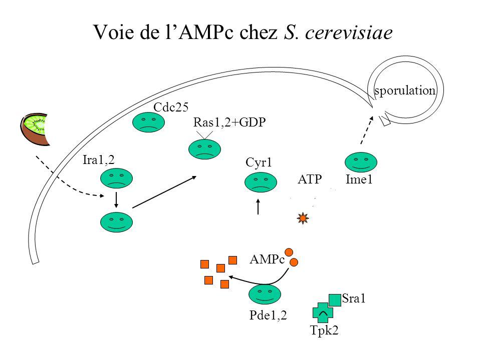 Voie de l'AMPc chez S. cerevisiae Cdc25 Ras1,2+GDP Ras1,2 + GTP Cyr1 Sra1 Tpk2 Ime1ATP AMPc Ira1,2 Pde1,2 sporulation