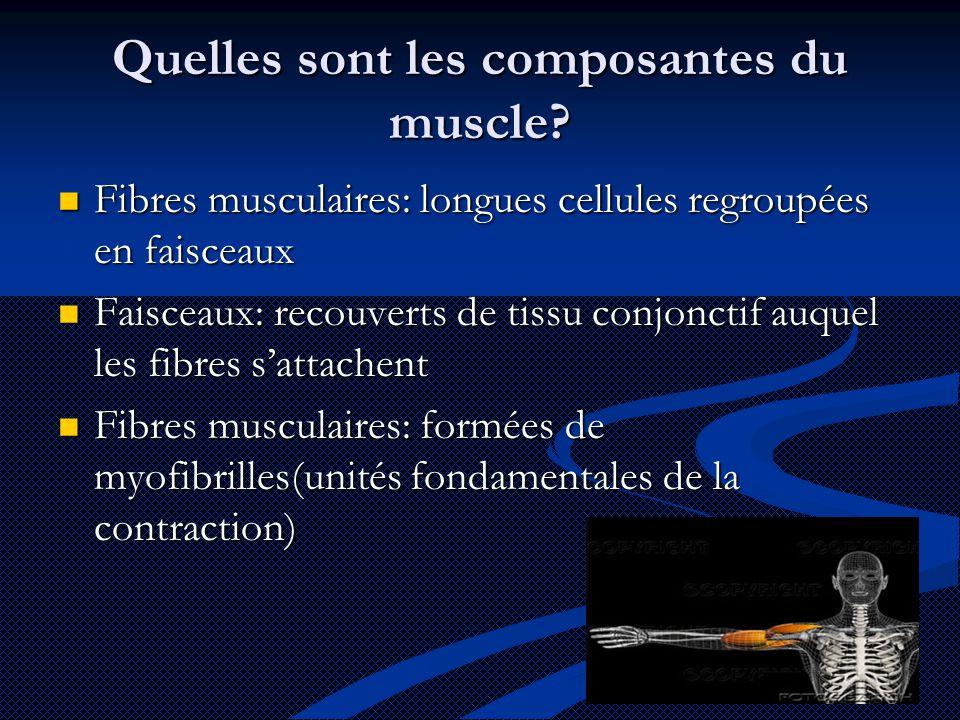 Quelles sont les composantes du muscle?  Fibres musculaires: longues cellules regroupées en faisceaux  Faisceaux: recouverts de tissu conjonctif auq