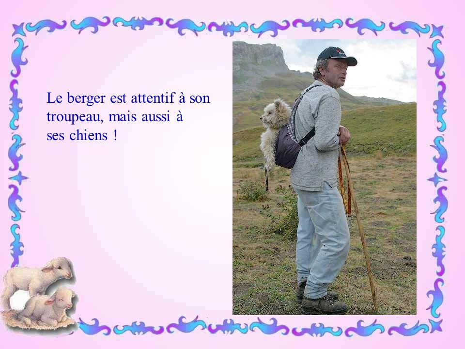 Le berger est attentif à son troupeau, mais aussi à ses chiens !
