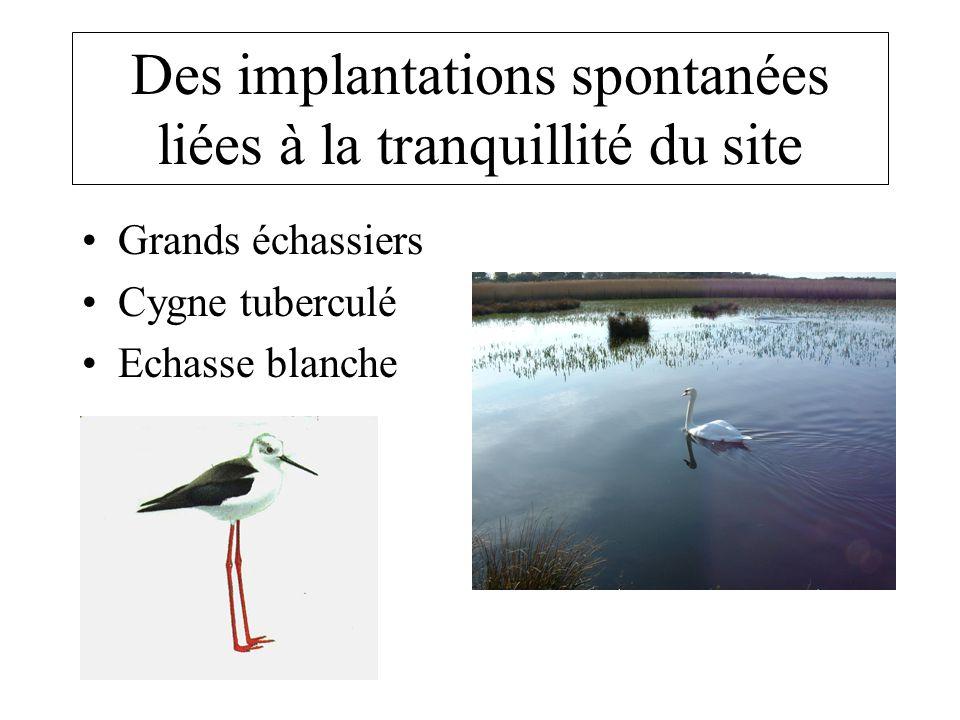 Des implantations spontanées liées à la tranquillité du site •Grands échassiers •Cygne tuberculé •Echasse blanche