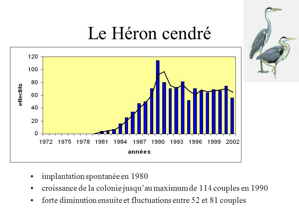 Le Héron cendré •implantation spontanée en 1980 •croissance de la colonie jusqu'au maximum de 114 couples en 1990 •forte diminution ensuite et fluctuations entre 52 et 81 couples