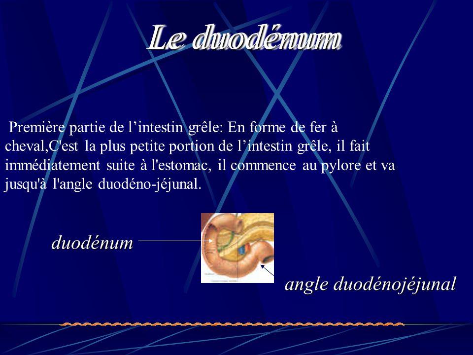 Première partie de l'intestin grêle: En forme de fer à cheval,C'est la plus petite portion de l'intestin grêle, il fait immédiatement suite à l'estoma