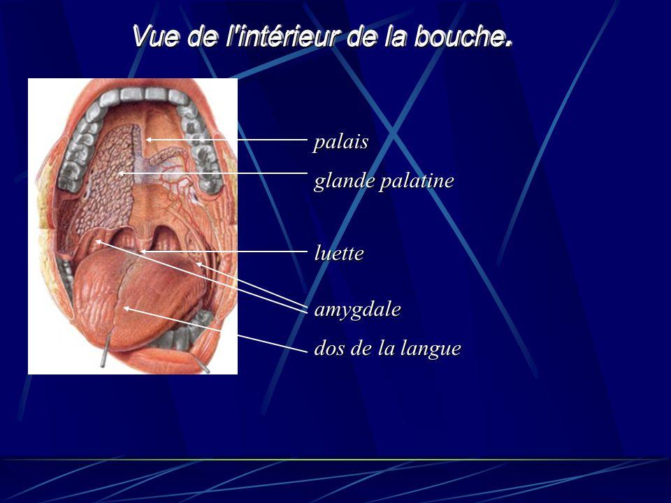 Vue de l'intérieur de la bouche. amygdale dos de la langue luette palais glande palatine